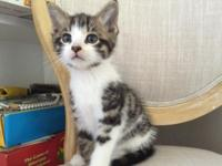Friendly, very outgoing shorthair domestic male kitten