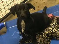 Darma's story Darma is a 12 week old lab mix, current