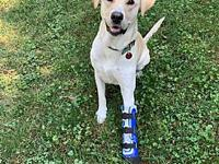 My story DASH is a 3-year-old neutered male yellow lab.