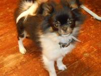Dashchund/Pomeranian pups, black and tan female, cream