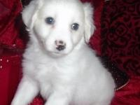 "Dasher is a BEAUTIFUL white ""Tall"" Coton whose. black"