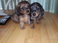 I have some dachshunds puppies. I have 2 males and 1