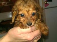 Beautiful all Auburn 2 year old female dashund. I have