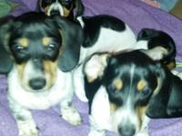 Dauschund  Wiener puppies need a good home, Must