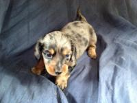 Long hair dashund puppies available May 1, in time for