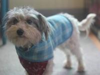 Davey is a 3 year old, 10.6 lb Havanese/poodle mix.