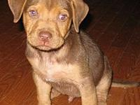 Davey's story Davey is a male Lab mix, about 10 weeks