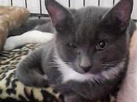 David's story David is a 8 month old, 7#, dsh grey and