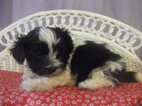 Davy is a lovely black and white maltipoo. His mama is