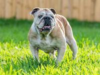 Dawn's story Sweetheart English bulldog rescued from
