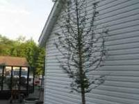 "2"" - 2.5"" cal. appr 10' tall - Dawn Redwood - fast"