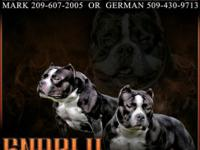I have 8 young puppies all dax x vito bloodline pocket