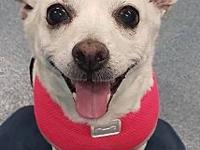 My story Dazzle is a 8 year old chi. she is utd on