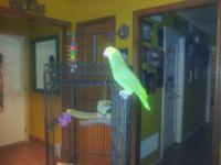 Bella is a 1 1/2 year old double yellow headed amazon