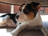 Male Decker Rat Terrier Born April 29th (currently 11
