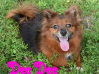 Dee Dee is 6 year young, 3 legged Pomeranian mix. She