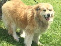 DEEDEE is a Great Pyrenees, red/cream in coloring.  She