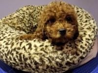 We have Poodle puppies for sale,They are deep red