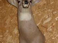 2 nice 8 point mounted deer heads. One mounted with a