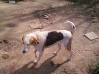 Deer Hound, not quit 2 years old,male, ran and hunted