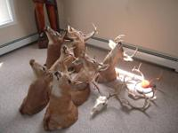 I am selling an  assortment of Whitetail Deer Mounts ,