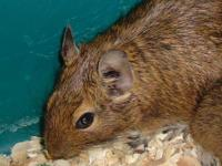 Degu - Suzy And Sophie - Small - Adult - Female - Small