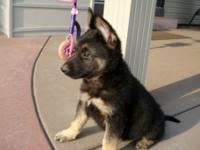 Delightful German Shepherd Dog  puppies available to go