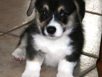 Delightful Pembroke Welsh Corgi puppies available to go