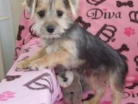 "These little Yorkie-Schnauzers are ""also amazing for"