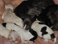 I have a new litter of havanese puppies.There is a