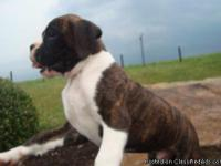 Delle Trained Akc Boxer Puppies for adoption now.These