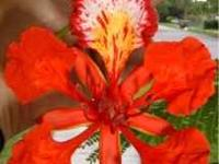 Royal Poinciana is one of the most beautiful flowering