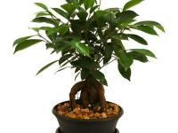 The Delray Plants' Bonsai in Plastic Container is a