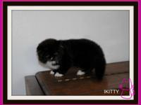 Persian Kitten Black and White bi-color C.F.A. Born on