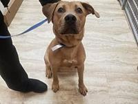 My story Denim is a 9-mo-old spayed female yellow lab.