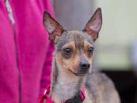 Denny is a 2-year-old, 9-lb. Chihuahua who came to the
