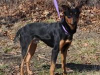 Name: Denver Breed: Min Pin mix Age: 2 Color: Black and