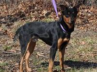 Denver's story Name: Denver Breed: Min Pin mix Age: 2