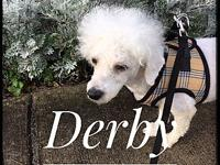 Derby's story Meet Derby! He's a 4 yr old Poodle mix