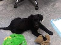 My story Derby is a flat-coated retriever mix, weighs