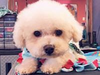 DESI's story DESI is beautiful toy poodle, weighing