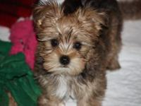 Developer-- Silky - Yorkie New puppy: 9 weeks aged,
