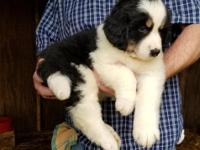 Great Berner! A cross between a Great Pyrenees and