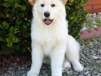 Kodiak is a large Siberian Husky mixed with Australian