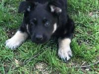German Australian shepherd female pup this is a proven