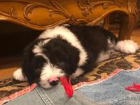 Callen is a Sheepadoodle which is a mix of a Old