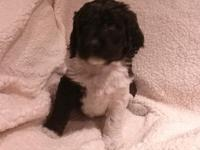 Dahlia, is a Springer spaniel, poodle mix, both parents
