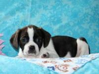 Tonya is a cute and cuddly Cavalier/Boston Terrier mix