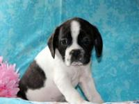 Trevor is a cute and cuddly Cavalier/Boston Terrier mix
