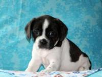 Tyler is a cute and cuddly Cavalier/Boston Terrier mix